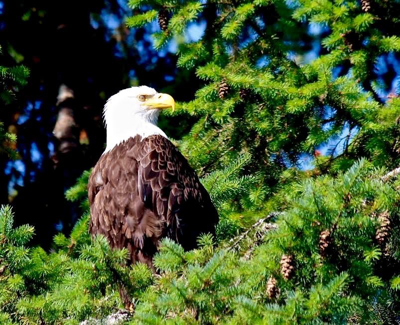 Bald eagle, Prospect Lake – Version 2